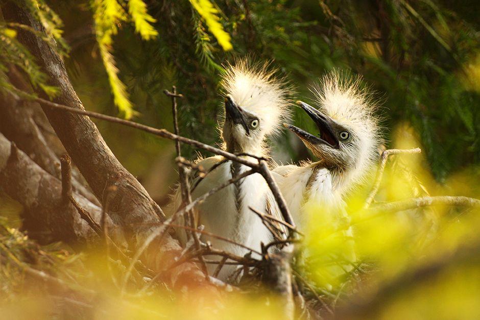St. Augustine, Florida, USA: pulcini di garzetta nivea implorano per il cibo nel loro nido. [Foto del giorno - dicembre 2013]