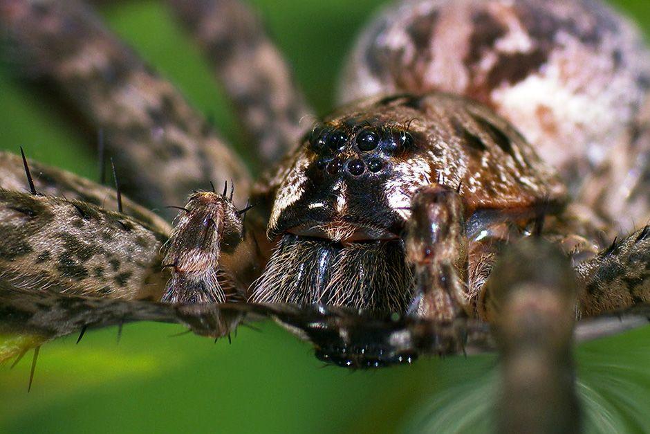 Somerset, Inghilterra, UK: faccia a faccia con un incredibile cacciatre acquatico, il ragno... [Foto del giorno - dicembre 2013]