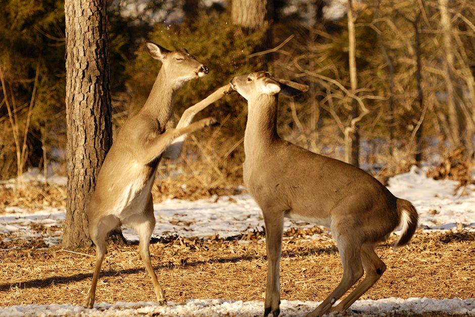 Due cervi dalla coda bianca combattono. [Foto del giorno - December 2013]
