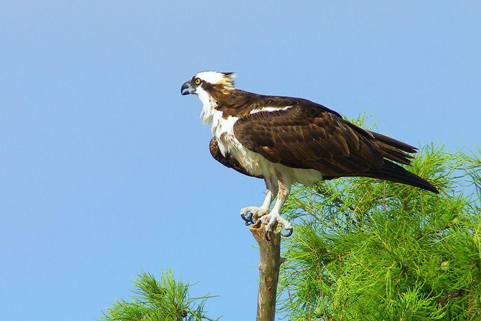 Lago Verret, Louisiana: un falco pescatore adulto sorveglia il suo pulcino nel vicino nido. [Foto del giorno - dicembre 2013]