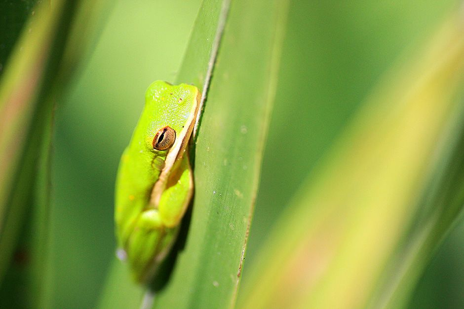 Atchafalaya National Wildlife Refuge, Louisiana, USA: An American green tree frog (Hyla... [Photo of the day - December 2013]