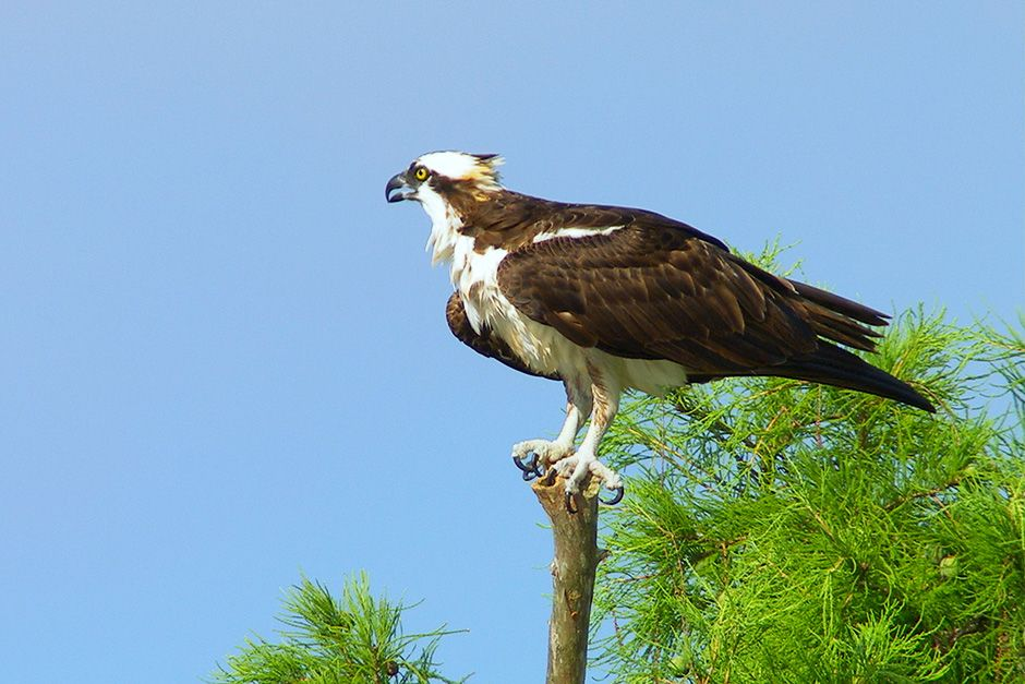 Lake Verret, Louisiana, USA: An adult osprey (Pandion haliaetus) guards its young chick in the... [Photo of the day - December 2013]
