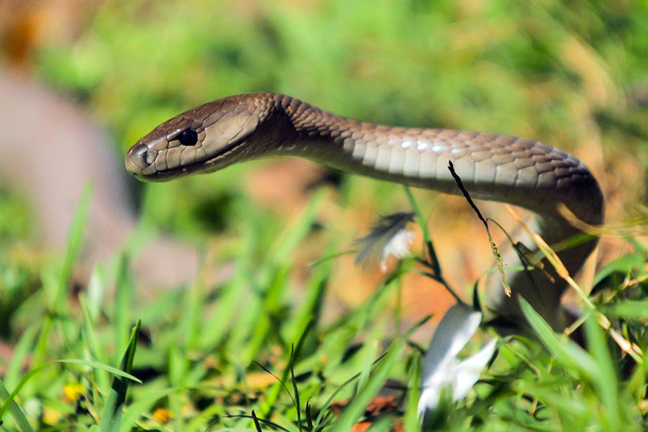 South Africa: Mamba in the grass with some pigeon feathers. This image is from Black Mamba. [Photo of the day - January 2014]