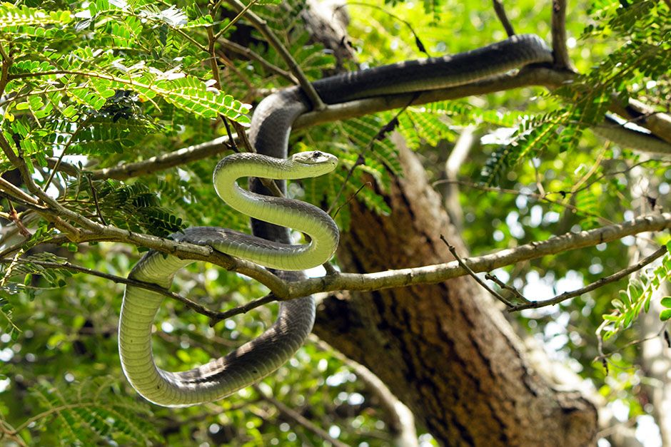 South Africa: Mamba is curled high on a tree branch. This image is from Black Mamba. [Photo of the day - ژانویه 2014]