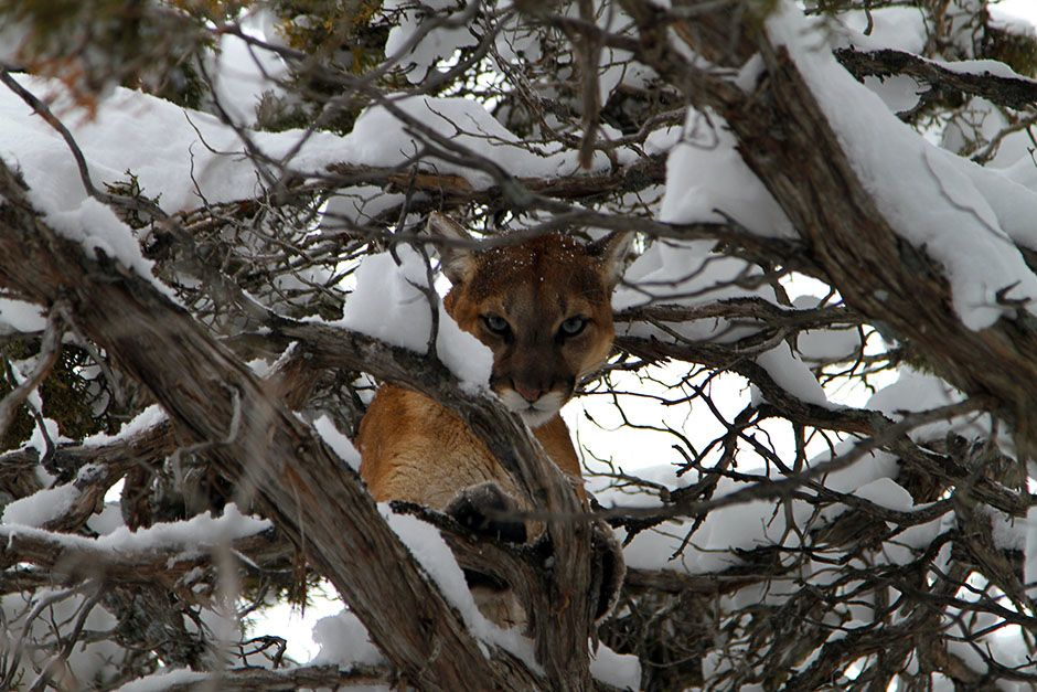 Caribou National Forest near Preston, Idaho, USA: A cougar finds safety in a tree after being... [Photo of the day - ژانویه 2014]