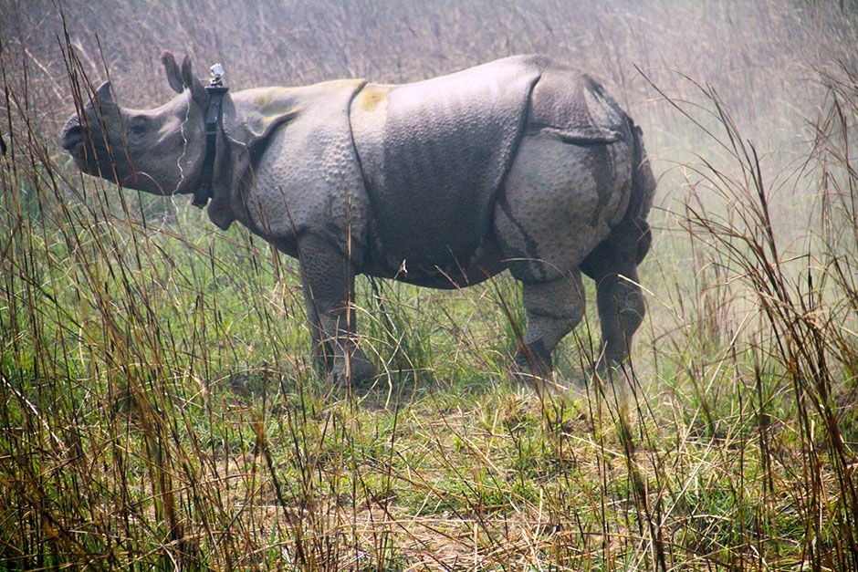 Nepal: A great Asian one-horned rhino stands after being tranquilized and collared by a team of... [Photo of the day - ژانویه 2014]