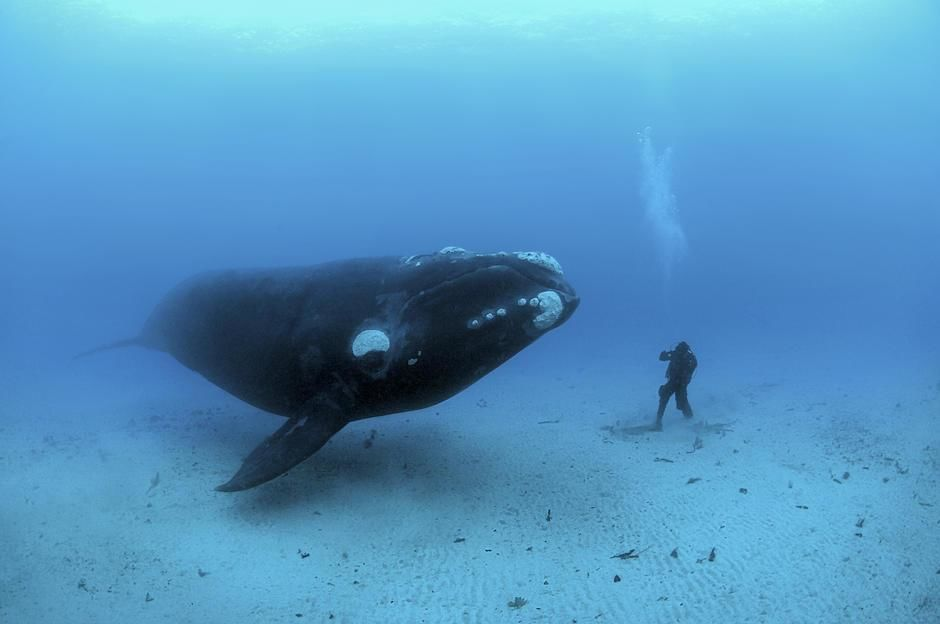 On this day in 1856 the first underwater phtoograph was taken. Here Southern Right Whales,... [Photo of the day - January 2012]