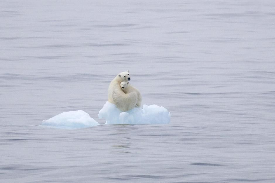 Polar Bear and cub on a flating hunk of ice, Olga Strait, Svalbard. [Photo of the day - January 2012]