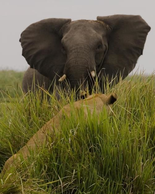 African elephant in aggressive defense posture in front of a lion in the grass, Duba Plains,... [Photo of the day - January 2012]