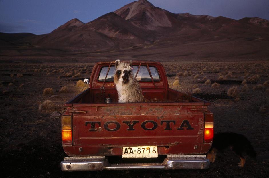 صحرای آکاتاما- یک شتر لاما در پشت وانت قرمز رنگی... [Photo of the day - فوریه 2011]