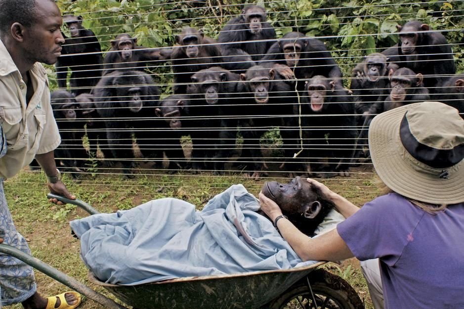 Chimpanzees look on in grief at the burial of one of their own. [Photo of the day - February 2011]