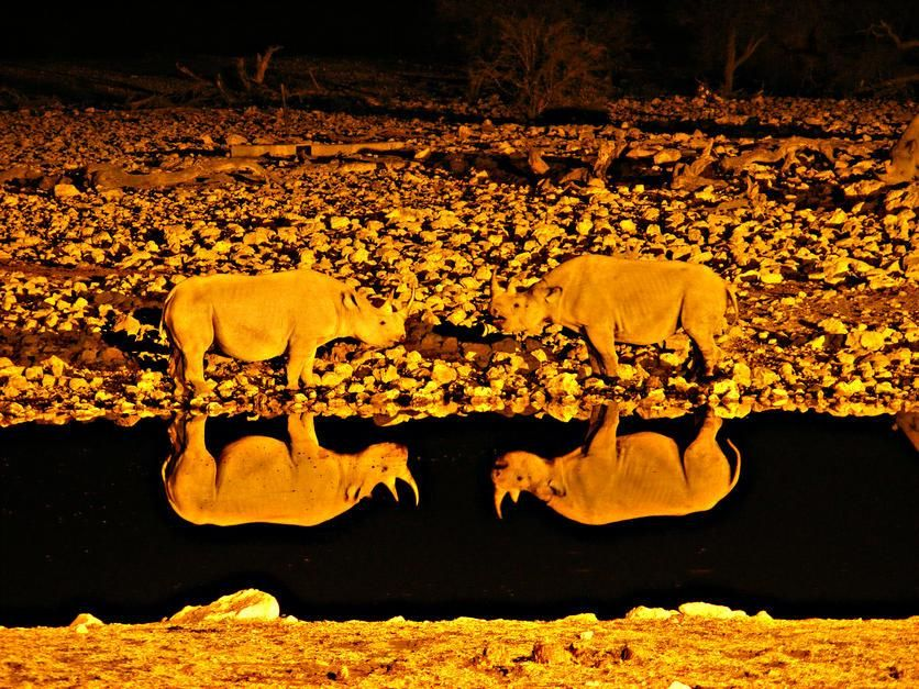 انعکاس تصویر جدال دو کرگدن در آب های مالورن، ایالت... [Photo of the day - فوریه 2011]