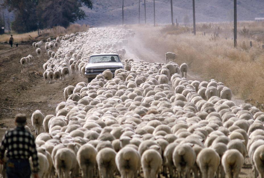 صدها گوسفند مسیر حرکت ماشین را در جاده خاکی ایالت... [Photo of the day - فوریه 2011]