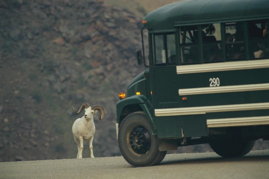 A Dalli's sheep slows a bus down on an Alaskan road. [Photo of the day - February 2011]