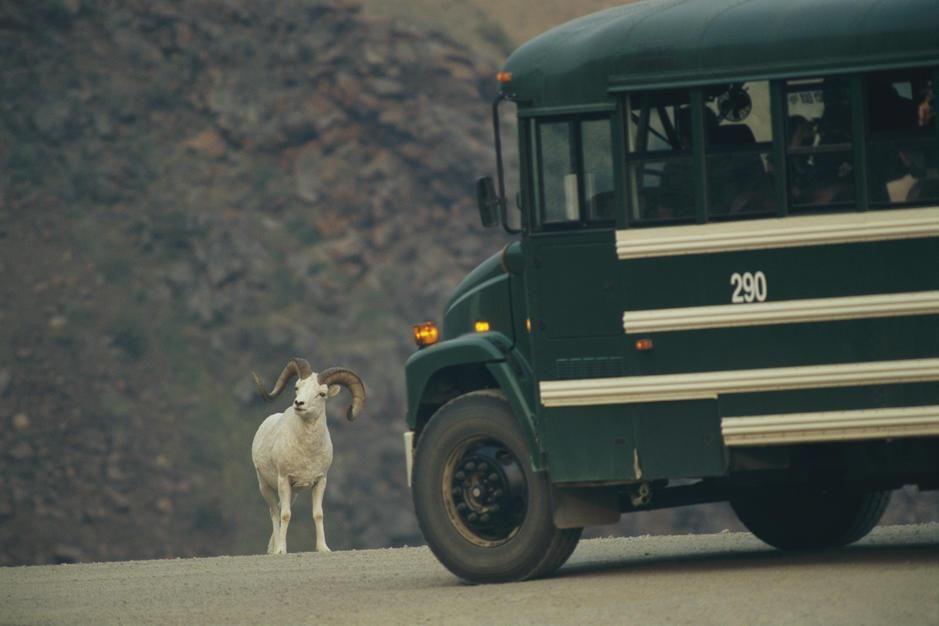 یک گوسفند دالی مسیر حرکت یک اتوبوس را در جاده آلاسکا... [Photo of the day - فوریه 2011]