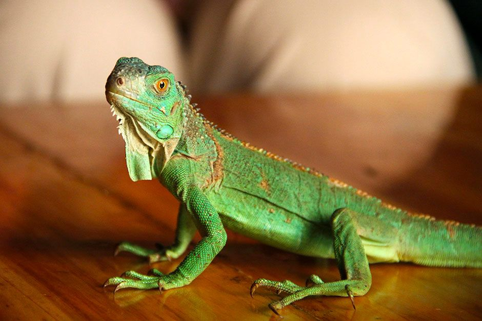 A small green lizard sitting on a table. This image is from David Attenborough's Rise of Animals. [Photo of the day - فوریه 2014]