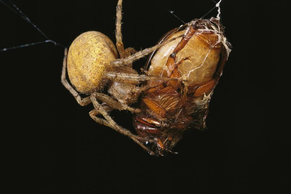 A spider wraps a beetle in strands of silk on Caroline Islands. [Photo of the day - February 2011]