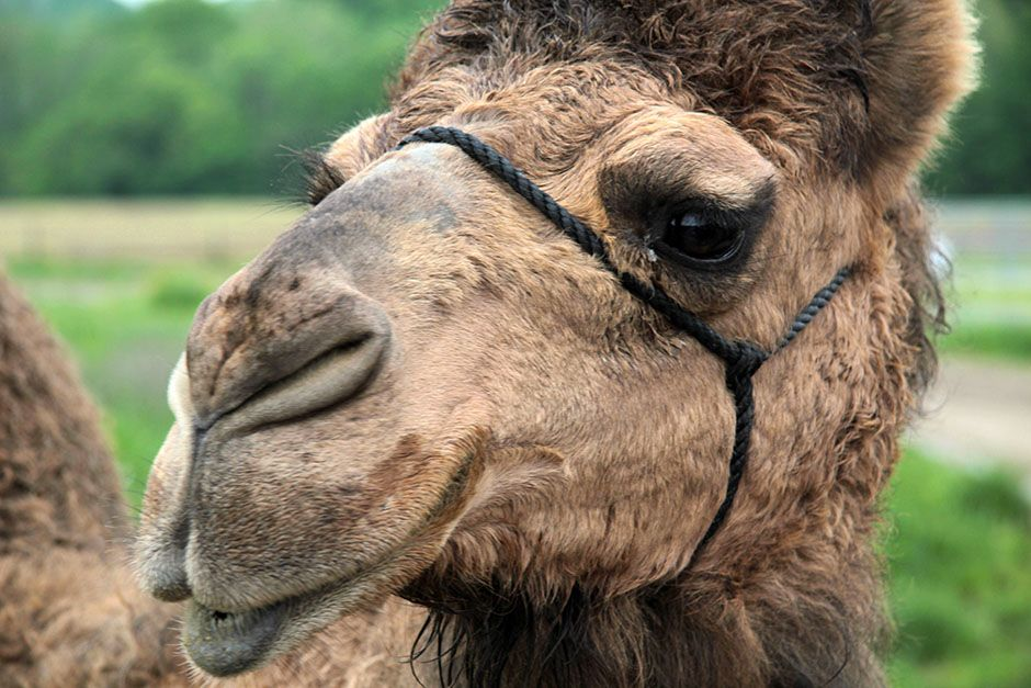 Butlerville, Indiana, USA: A close up of a camel. Unlike humans, camels can not engineer their... [Photo of the day - فوریه 2014]