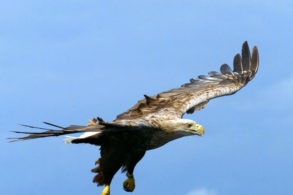 Scotland: A large bird in flight with it's wings stretched. This image is from Wild Scotland:... [Photo of the day - March 2014]