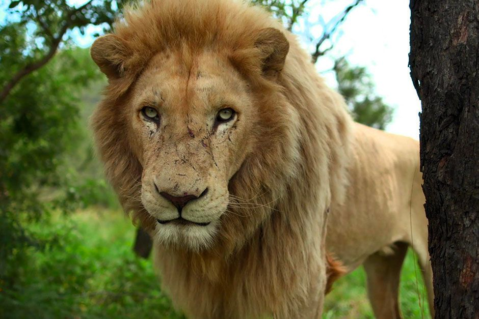 Near Johannesburg, South Africa: A lion looking at the camera. This image is from The Lion... [Photo of the day - 三月 2014]
