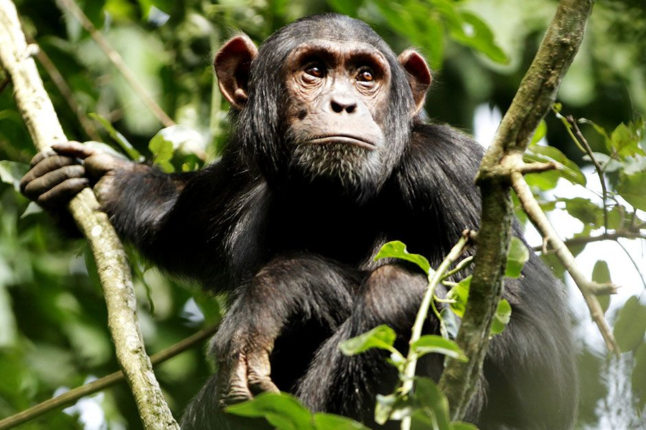 Kibale National Park, District Fort Portal, Republic of Uganda: A young male chimpanzee is... [Photo of the day - March 2014]