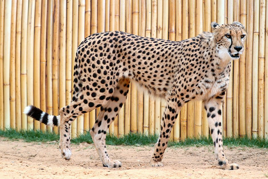 Man Vs. Cheetah is a scientific matchup between nature's fastest land mammal and NFL players.... [Photo of the day - March 2014]