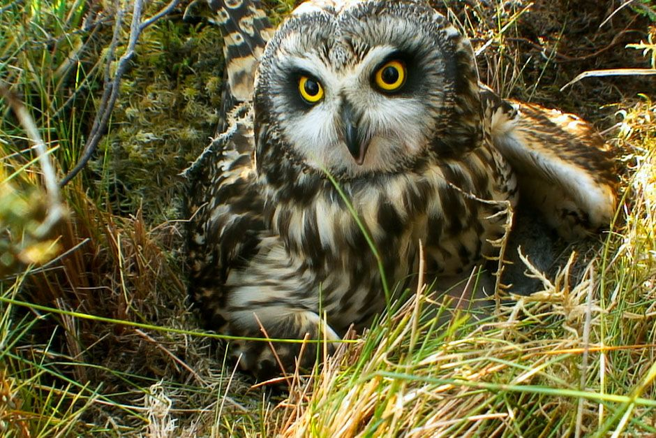 Scotland: An owl sitting in the log grass. This image is from Wild Scotland: The Western Isles. [Photo of the day - March 2014]