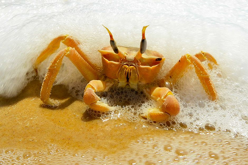 A crab in the sea foam on a beach in Gabon, Africa. This image is from Wild Gabon. [Photo of the day - أبريل 2014]