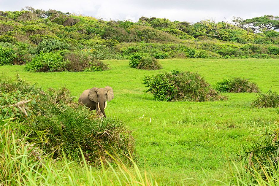 An elephant walks through bright green vegetation in Gabon, Africa. This image is from Wild Gabon. [Photo of the day - أبريل 2014]