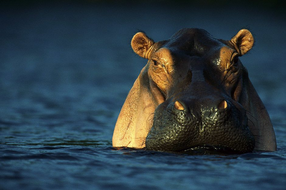 Loango National Park, Gabon, Africa: An adult hippopotamus standing in water. This image is from... [Photo of the day - أبريل 2014]