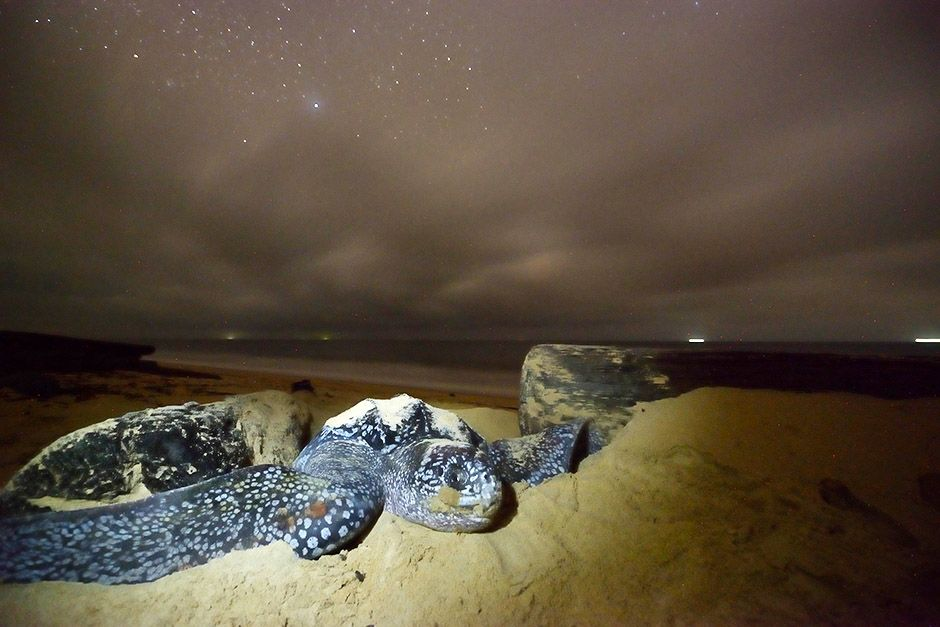 A female leatherback turtle pushes sand away to move toward her nesting site on a beach in... [Photo of the day - أبريل 2014]