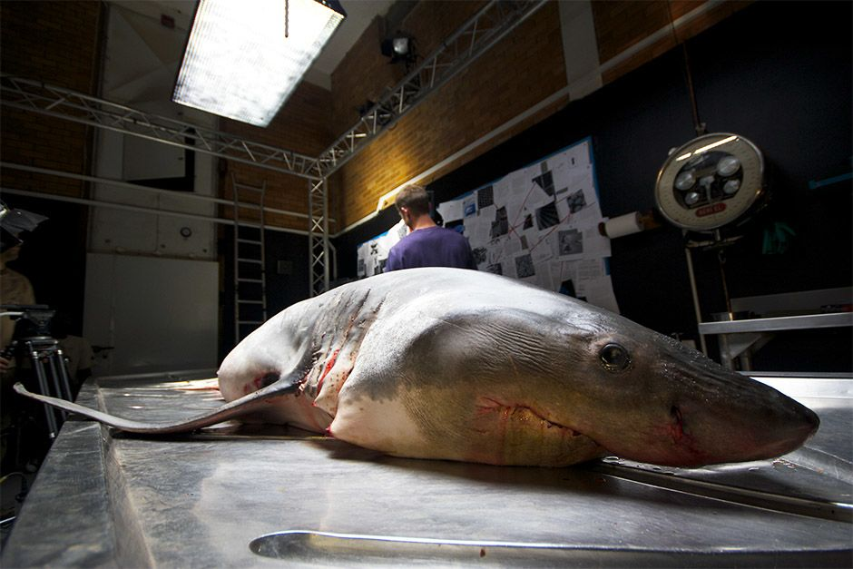 South Africa: Great white shark specimen on autopsy table. This image is from Great White Code Red. [Photo of the day - أبريل 2014]