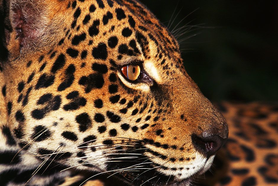 Amazon, Brazil: A jaguar. This image is from Untamed Americas. [Photo of the day - أبريل 2014]