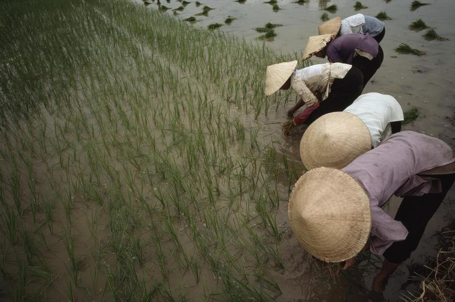 In the rich delta of Vietnam, women plant hybrid rice. [Photo of the day - March 2011]