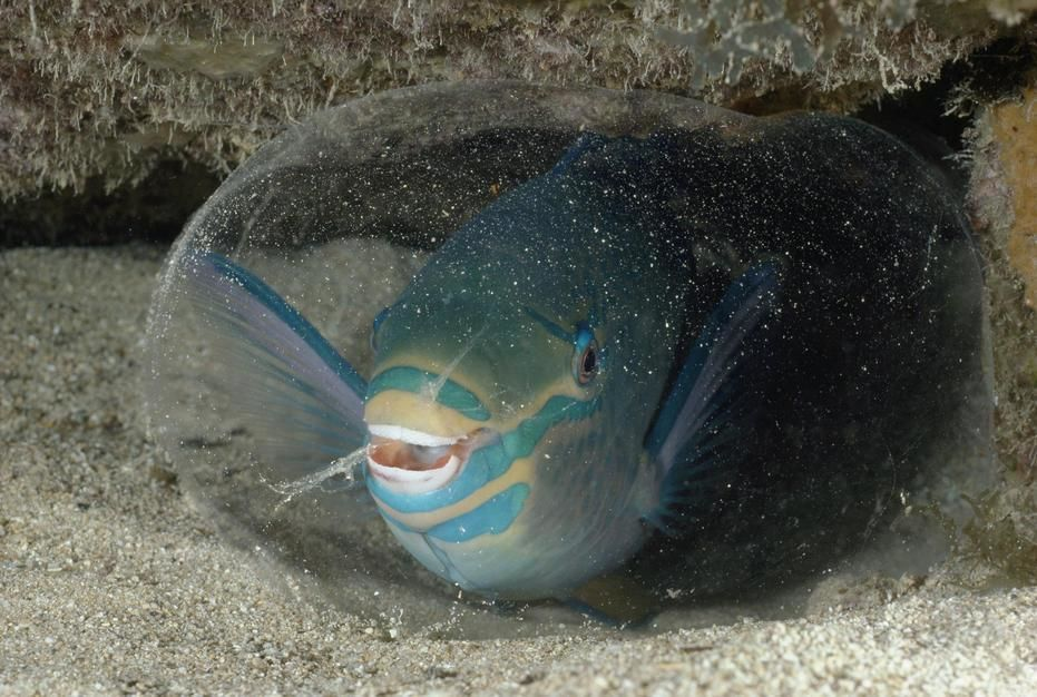 A queen parrotfish creates a protective sack from a secretion gland in George Town Harbour,... [Photo of the day - March 2011]