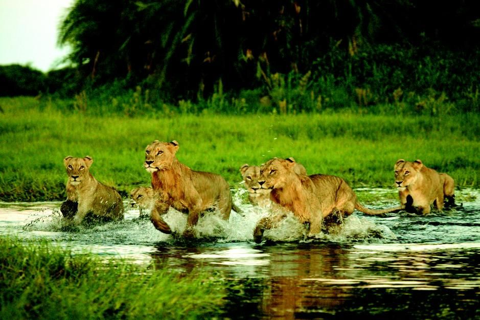 A group of lions cross a small stream in Okavango Delta. [Photo of the day - March 2011]