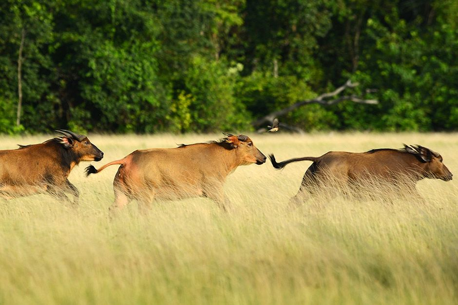 Three buffaloes running through a field in Gabon, Africa. This image is from Wild Gabon. [Photo of the day - April 2014]