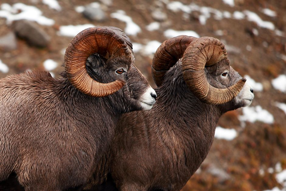 Mountain bighorn sheep, Jasper National Park, Alberta, Canada. This image is from Untamed Americas. [Photo of the day - April 2014]