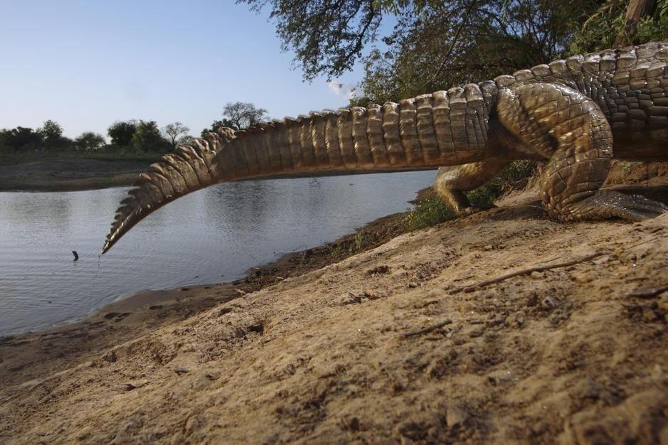 A remote camera captures the tail of a crocodile entering its den in Zakouma National Park. [Photo of the day - مارس 2011]