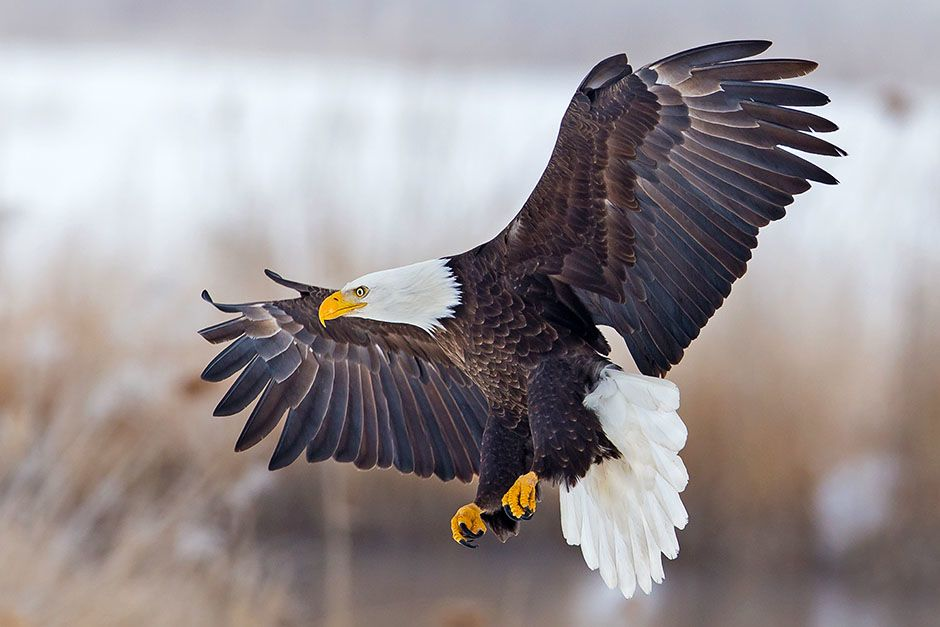 A bald eagle flying with its wings spread wide. This image is from Animals Gone Wild. [Photo of the day - می 2014]