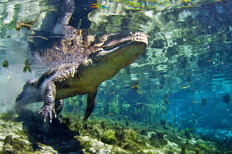 St. Augustine, FL, USA: A crocodile swimming. This image is from Wild Florida. [Photo of the day - May 2014]