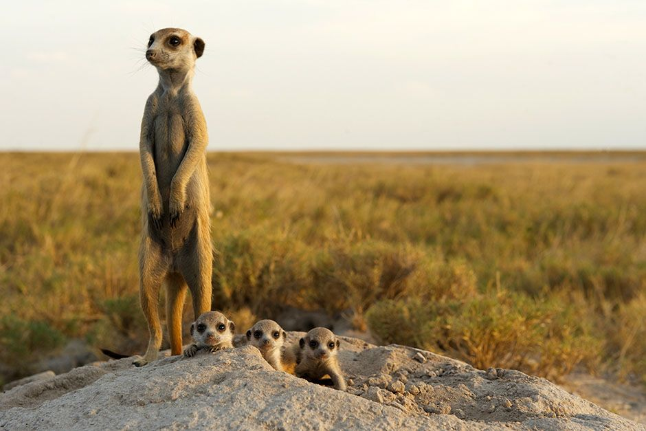 An adult meerkat babysits four pups at their burrow in the Makgadikgadi grasslands. This image... [Photo of the day - می 2014]