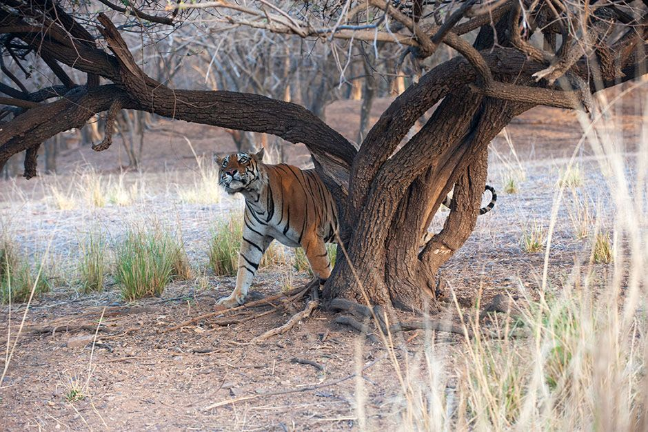 Rajbagh Area, Ranthambore National Park: A tiger peers around a tree. This image is from Tiger's... [Photo of the day - May 2014]