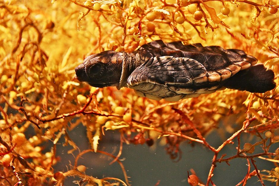 Boca Raton, FL, USA:  A loggerhead sea turtle hatchling floats in sargassum. This image is from... [Photo of the day - May 2014]
