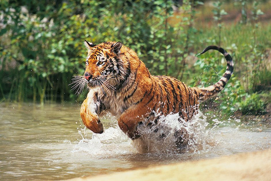 A Bengal tiger pounces through the water. This image is from Animals Gone Wild. [Photo of the day - May 2014]