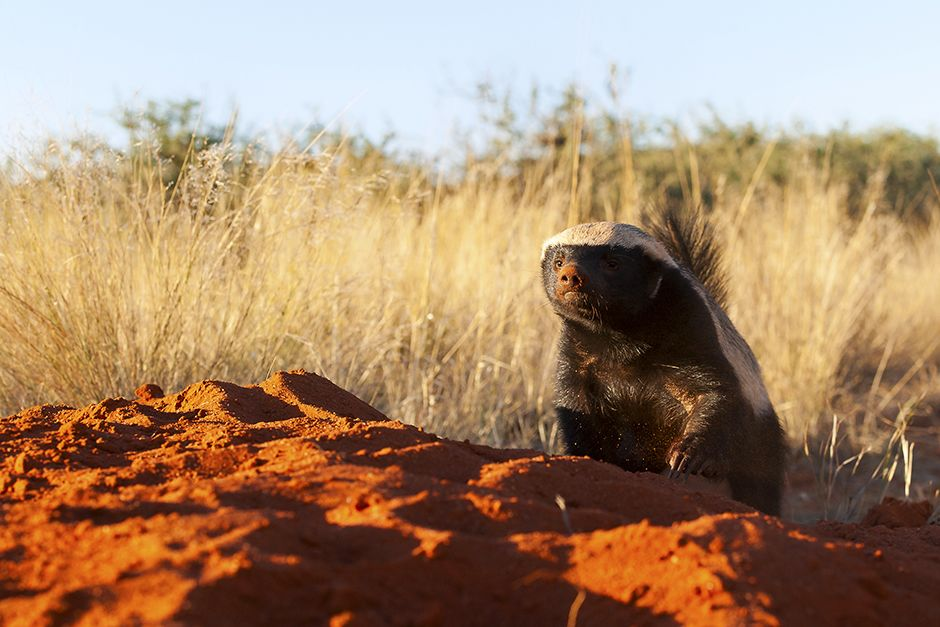 A honey badger coming over a sandy ridge. This image is from Ultimate Honey Badger. [Photo of the day - June 2014]