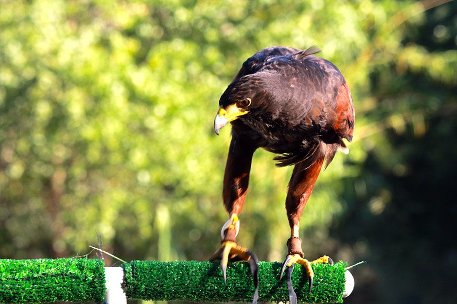 Agua Dulce, CA: The Harris hawk. This image is from Showdown of The Unbeatables. [Photo of the day - ژوئن 2014]