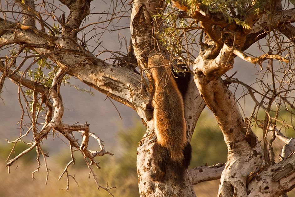 A honey badger climbing up a tree. This image is from Ultimate Honey Badger. [Photo of the day - ژوئن 2014]