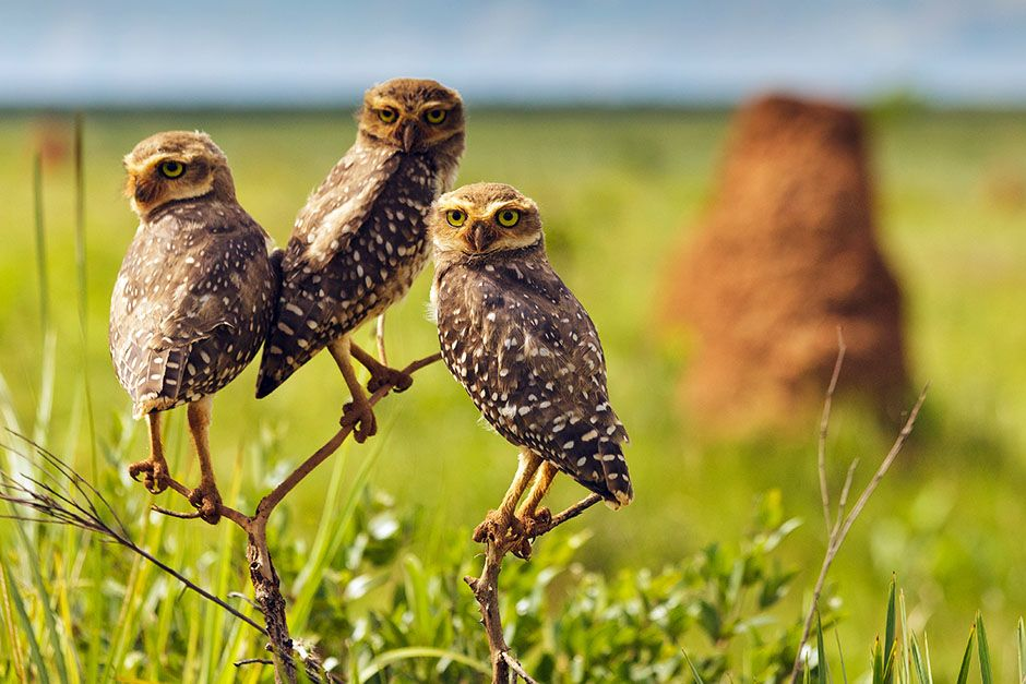 Burrowing owls. This image is from Wild Untamed Brazil. [Photo of the day - June 2014]