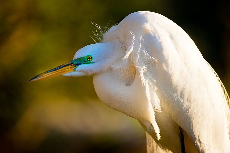 St. Augustine, FL: A white American egret sits. This image is from Wild Florida. [Photo of the day - ژوئن 2014]